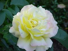 Rosa_sp_122.jpg