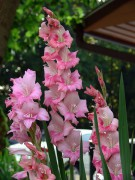 450px-Gladiolus_7-19-06.jpg