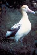 400px-Short_tailed_albatross.jpg