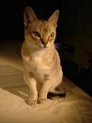 450px-Raffles_singapura_cat.jpg