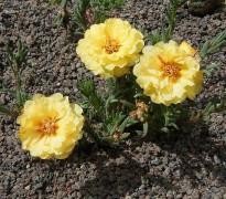685px-Portulaca_grandiflora2_ies.jpg