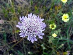 800px-Scabiosa_atropurpurea_Flower_Closeup_DehesaBoyalPuertollano.jpg