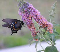 697px-Butterfly_feeding_from_butterfly_bush.jpg