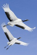 400px-Grus_japonensis_in_flight_at_Akan_International_Crane_Center.jpg