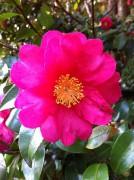 448px-Camellia_sasanqua_001.jpg