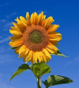541px-Sunflower_sky_backdrop.jpg