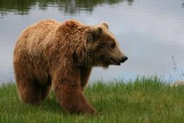 800px-Brown_bear_Ursus_arctos_arctos_smiling.jpg