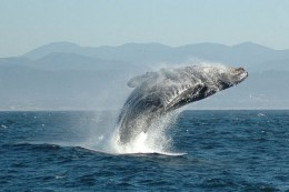 800px-Jumping_Humpback_whale.jpg