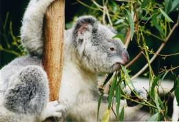 800px-Koala-ag1.jpg