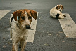 800px-Stray_dogs_crosswalk.jpg