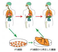 Ips_cells_ja.png