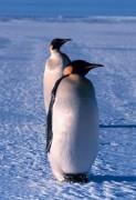 410px-Emperor_penguin.jpg