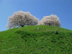800px-Maruhakayama_Tumulus_And_Cherry_trees.JPG