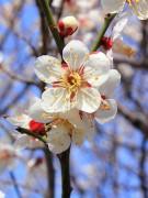 449px-Prunus_mume.JPG