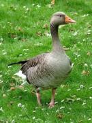 450px-Greylag_Goose_Anser_anser.jpg
