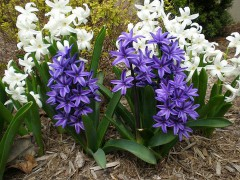 800px-White_and_purple_hyacinths.JPG