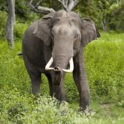 2005-bandipur-tusker.jpg
