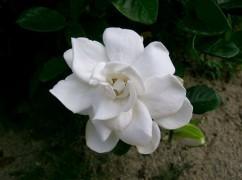800px-Gardenia_jasminoides1.jpg