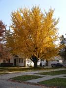 450px-Ginkgo_Tree_08-11-04a.jpg
