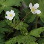 600px-Anemone_flaccida_two_flowers.JPG