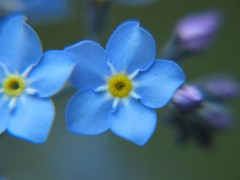 800px-Forget-me-not_closeup_2005_01.jpg