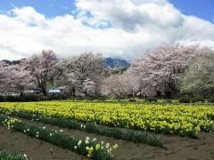 800px-Hokuto_Yamanashi_Jissoji_Narcissus_Field_And_Cherry_Tree_1.JPG