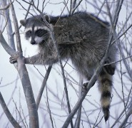 618px-Raccoon_climbing_in_tree_clipped.jpg