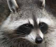 711px-Raccoon_Procyon_lotor_2.jpg