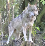 Canis_lupus_lupus_qtl1.jpg