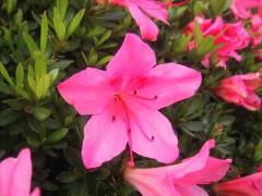 R-indicum_satsuki_blossom.jpg