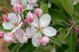 800px-Apple_blossoms.jpg