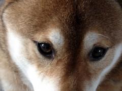 800px-Shiba_inu_eyes.jpg