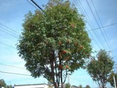 Nanakamado_tree.jpg