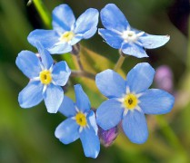 2008-05-04_at_18-26-44-Forgetmenot-Flower.jpg