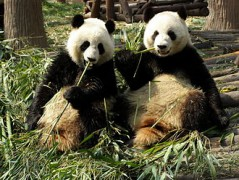 Chengdu_pandas_eating.jpg