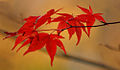 Japanese_maple_roede_blade.jpg