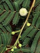 Leucaena_leucocephala.jpg