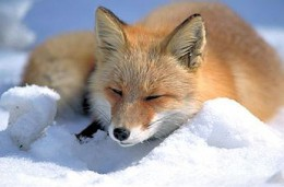 Vulpes_vulpes_laying_in_snow.jpg