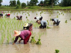 330px-Tranplant-rice-tahiland.JPG