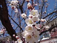 270px-Apricot_Blossom_North_Bergen_NJ.jpg