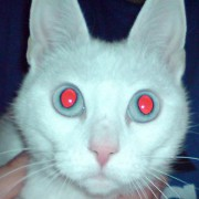 330px-Manx_Beatrice_white_coat_blue_eyes.jpg