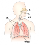 360px-Respiratory_system_jasvg.png