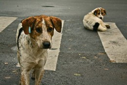 330px-Stray_dogs_crosswalk.jpg
