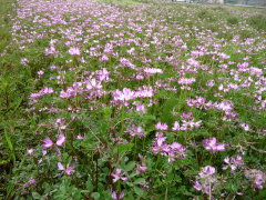 Wide_Chinese_milk_vetch_field-_Japan.png