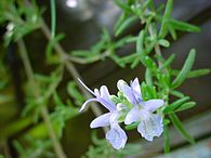 195px-ChristianBauer_flowering_rosemary.jpg