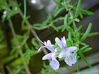 195px-ChristianBauer_flowering_rosemary.jpg