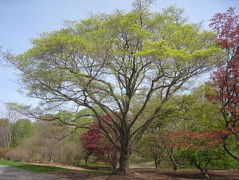 330px-Acer_mono_Arnold_Arboretum_-_IMG_5915.JPG
