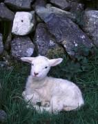 330px-Irish_Lamb_Sitting.jpg