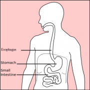 375px-Stomach_diagramsvg.png