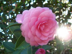 435px-Camellia_japonica.jpg